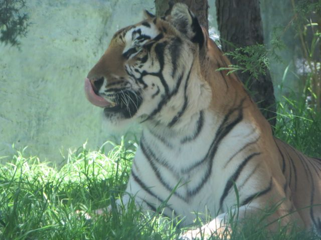 Africam Safari Tigre de Bengala Puebla