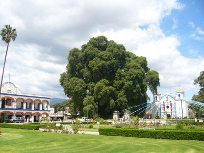 El Árbol del Tule Oaxaca