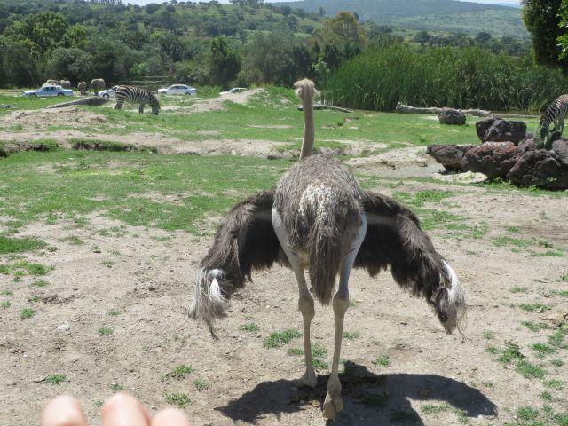 Avestruz Desplegando las Alas en Africam Safari Puebla