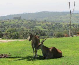 Conviviendo en Perfecta Armonía Africam Safari Puebla