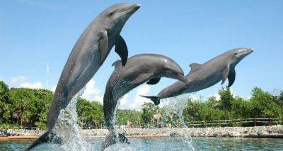 Delphinus Delfines