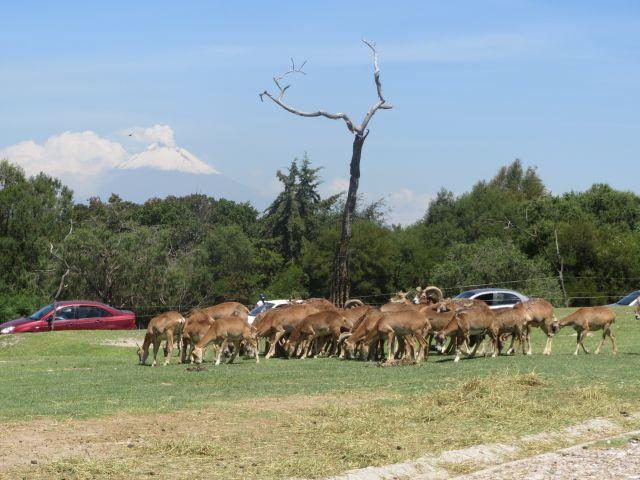 El Volcán Popocatépetl desde Africam Safari Puebla