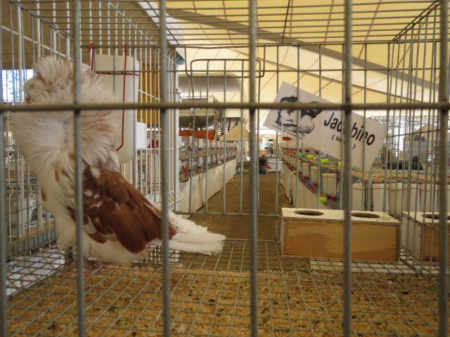 Exposición de Palomas 13 Feria Nacional de San Marcos