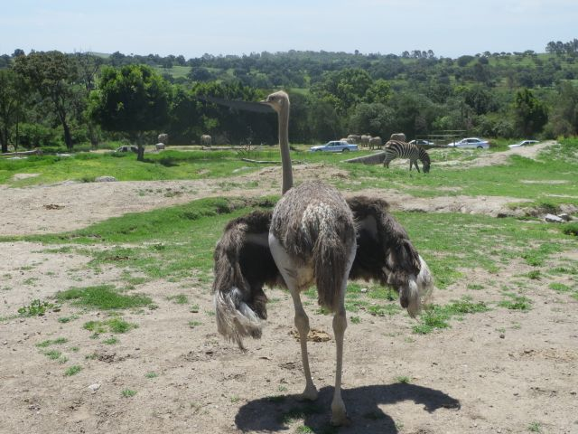 Hermoso Avestruz en Africam Safari Puebla