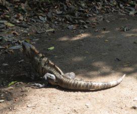 Iguana en la Zona Arqueológica de Tulum