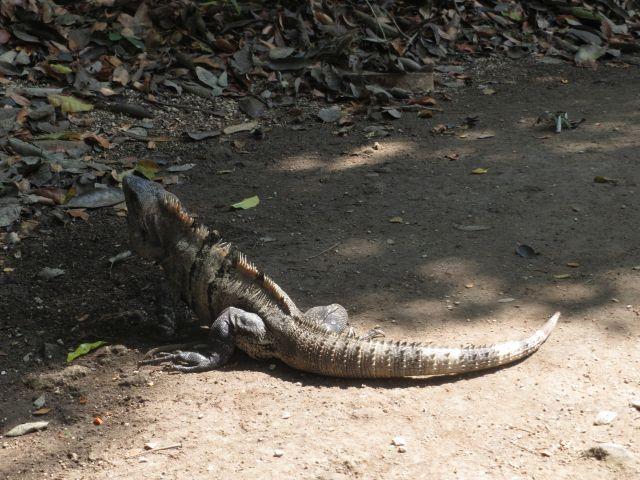Iguanas en Tulum Quintana Roo México