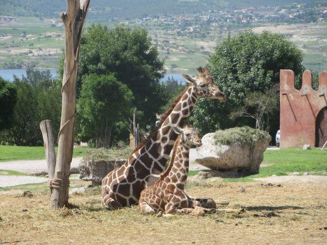 Jirafa y Jirafita en Africam Safari Puebla