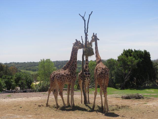 Jirafas Comiendo en Africam Safari Puebla
