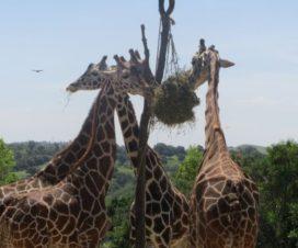 Jirafas Dándose un Banquete en Africam Safari Puebla