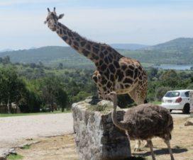 Jirafas en Africam Safari Puebla