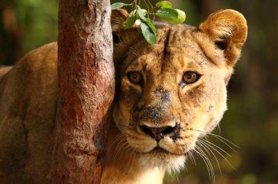 Lady Liuwa La última leona