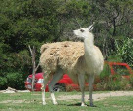 Llamas a mí Africam Safari Puebla