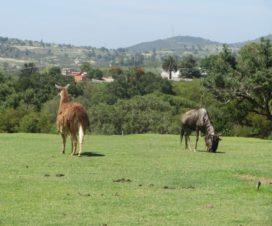 Ñu y Llama en Africam Safari Puebla