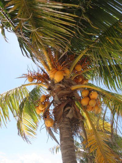 Palmera Cocotera Puerto Morelos
