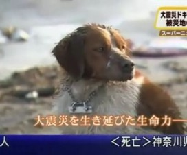 Perro Japonés no Abandona a su Amigo Malherido tras el Terremoto