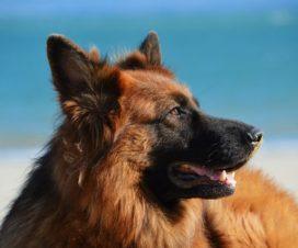 ¿Sabes cuáles son los mejores perros guardianes?