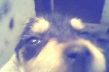 Cachorro Schnauzi