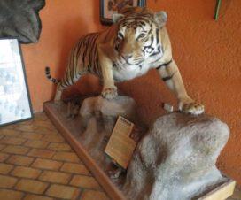 Tigre Marajá Parque Loro Puebla