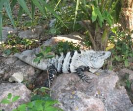 Tomando el Sol Iguana Ruinas de Tulum México