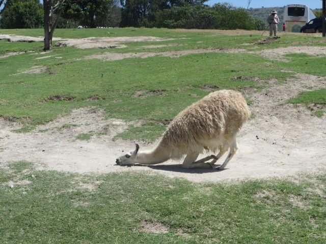 Una Hermosa Llama Divirtiéndose en Africam Safari Puebla