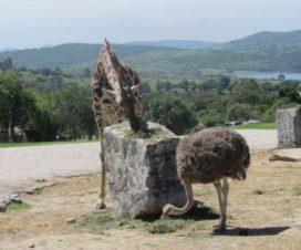 Una Jirafa y un Avestruz en Africam Safari Puebla